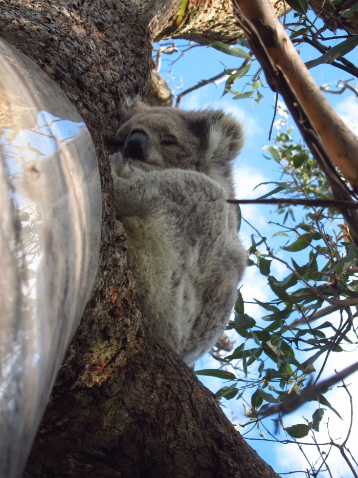06B. Koala on the tree (close up)